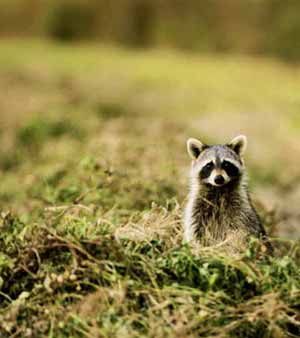 Al's Raccoon Capture, Raccoon Relocations,Catching Raccoons
